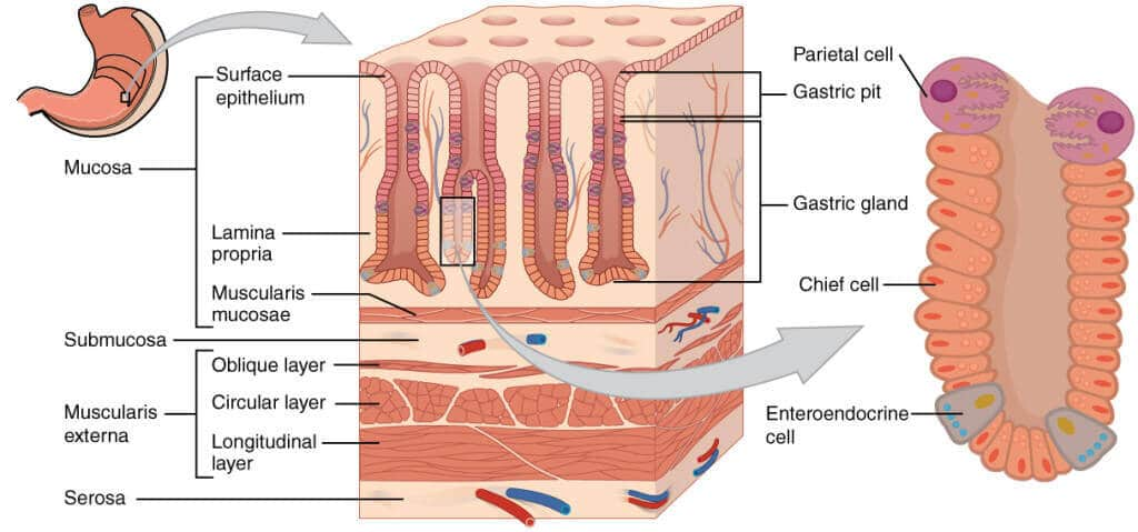 cross sectional diagram of the stomach epithelium